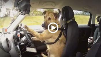 Σκύλος οδηγεί αυτοκίνητο
